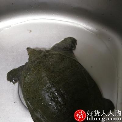 仙湖有机甲鱼汉寿甲鱼,5年自然生长生态中华鳖